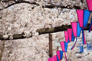 日本の桜の花の写真素材 [FYI01257505]