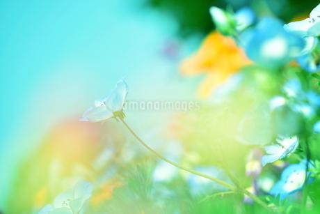 ネモフィラ畑の写真素材 [FYI01257586]