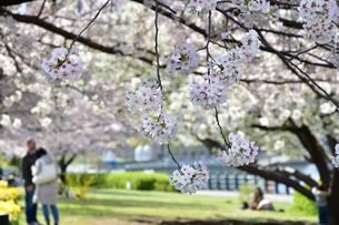 春の公園の桜の写真素材 [FYI01257593]