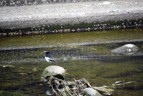 虫を捕獲して河原の岩にとまるセグロセキレイの写真素材 [FYI01257733]