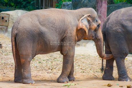 シンガポール動物園の象の写真素材 [FYI01257834]