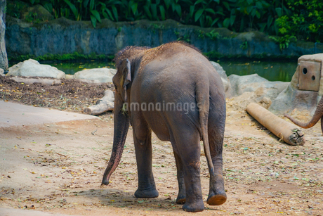 シンガポール動物園の象の写真素材 [FYI01257835]
