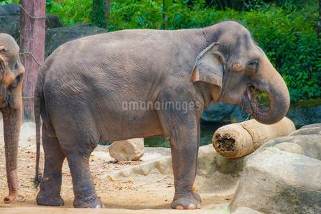 シンガポール動物園の象の写真素材 [FYI01257836]