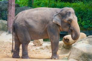 シンガポール動物園の象の写真素材 [FYI01257837]