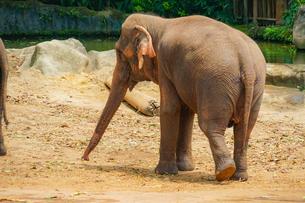 シンガポール動物園の象の写真素材 [FYI01257838]