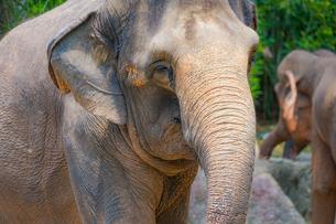 シンガポール動物園の象の写真素材 [FYI01257839]
