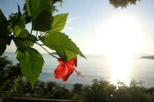 リオ州アラウージョ島に咲いていたハイビスカスの写真素材 [FYI01257844]
