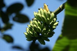 リオ州アラウージョ島に茂っていたバナナの写真素材 [FYI01257845]