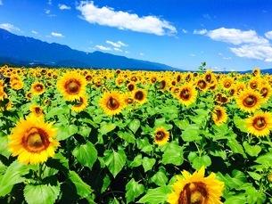 真夏の向日葵の写真素材 [FYI01257853]