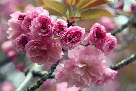 八重桜の花の写真素材 [FYI01258087]