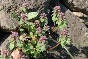 ヒメオドリコソウの花の写真素材 [FYI01258089]
