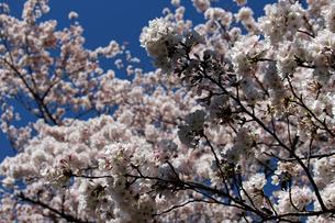 満開のサクラの花の写真素材 [FYI01258121]