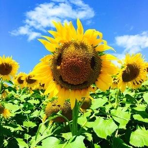 真夏のひまわりの写真素材 [FYI01258133]