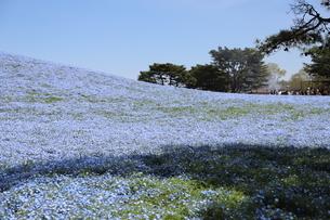 青空と青いネモフィラ畑の写真素材 [FYI01258155]