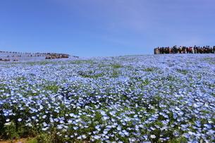 青空と青いネモフィラ畑の写真素材 [FYI01258158]