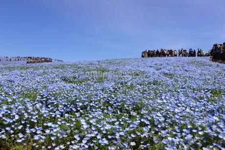 青空と青いネモフィラ畑の写真素材 [FYI01258159]