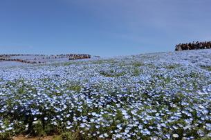 青空と青いネモフィラ畑の写真素材 [FYI01258160]