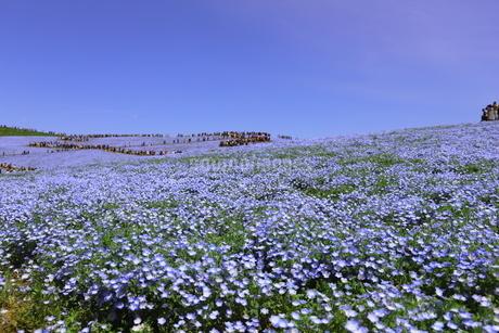 青空と青いネモフィラ畑の写真素材 [FYI01258161]