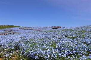 青空と青いネモフィラ畑の写真素材 [FYI01258162]