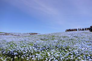 青空と青いネモフィラ畑の写真素材 [FYI01258163]