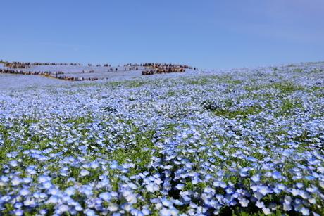 青空と青いネモフィラ畑の写真素材 [FYI01258166]