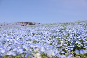 青空と青いネモフィラ畑の写真素材 [FYI01258172]