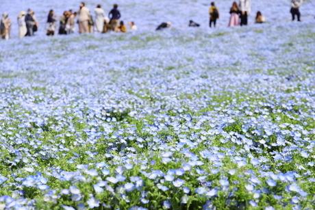 青空と青いネモフィラ畑の写真素材 [FYI01258173]