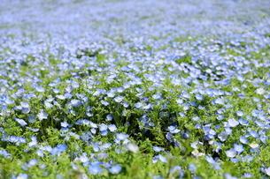 青空と青いネモフィラ畑の写真素材 [FYI01258176]