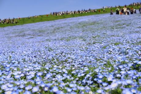 青空と青いネモフィラ畑の写真素材 [FYI01258178]