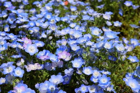 青空と青いネモフィラ畑の写真素材 [FYI01258180]