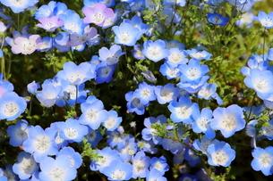 青空と青いネモフィラ畑の写真素材 [FYI01258181]
