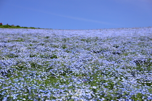 青空と青いネモフィラ畑の写真素材 [FYI01258185]
