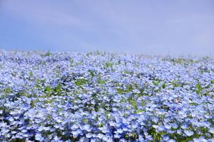 青空と青いネモフィラ畑の写真素材 [FYI01258191]