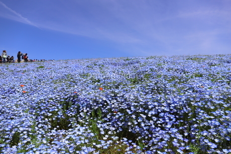 青空と青いネモフィラ畑の写真素材 [FYI01258192]