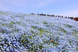 青空と青いネモフィラ畑の写真素材 [FYI01258196]