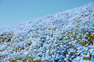 青空と青いネモフィラ畑の写真素材 [FYI01258197]