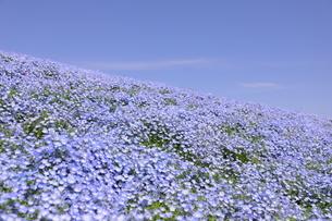 青空と青いネモフィラ畑の写真素材 [FYI01258199]