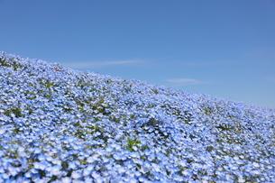 青空と青いネモフィラ畑の写真素材 [FYI01258200]