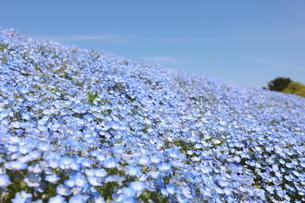 青空と青いネモフィラ畑の写真素材 [FYI01258201]