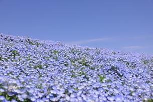 青空と青いネモフィラ畑の写真素材 [FYI01258204]