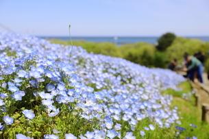 青空と青いネモフィラ畑の写真素材 [FYI01258205]