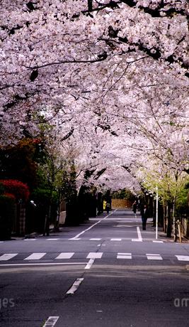 東京の桜の写真素材 [FYI01258229]