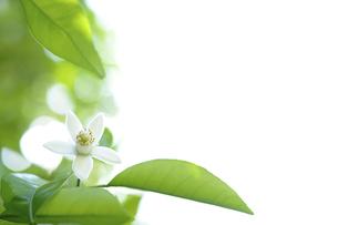 甘夏の花,みかんの写真素材 [FYI01258286]