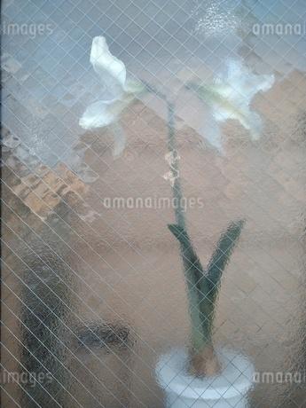 窓越しの花の写真素材 [FYI01258514]