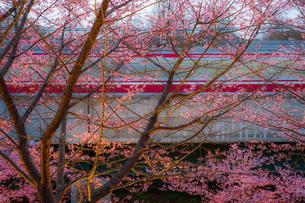 三浦海岸の河津桜と電車の写真素材 [FYI01258548]