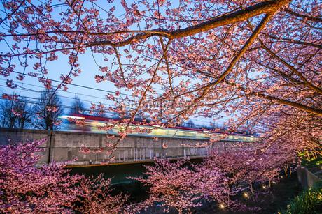 三浦海岸の河津桜と電車の写真素材 [FYI01258557]