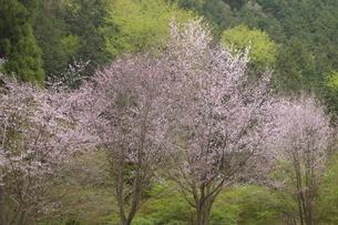 八王子の桜の写真素材 [FYI01258617]