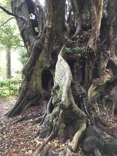 天然記念樹の写真素材 [FYI01258632]