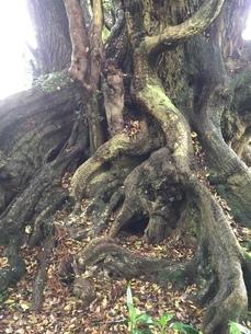 木の根の写真素材 [FYI01258636]