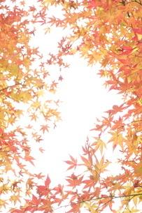 紅葉もみじのコピースペースの写真素材 [FYI01258743]
